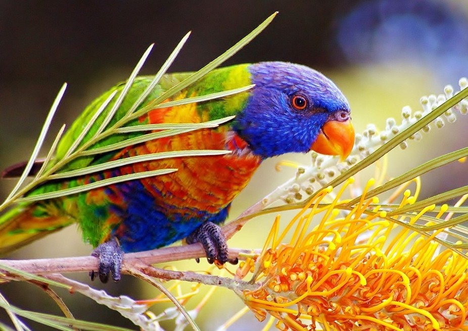Rainbow Lorikeet & Gravillea flower