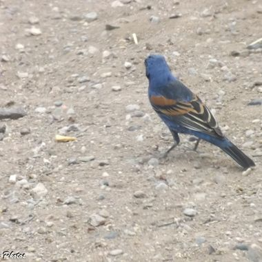 Blue Grosbeak back