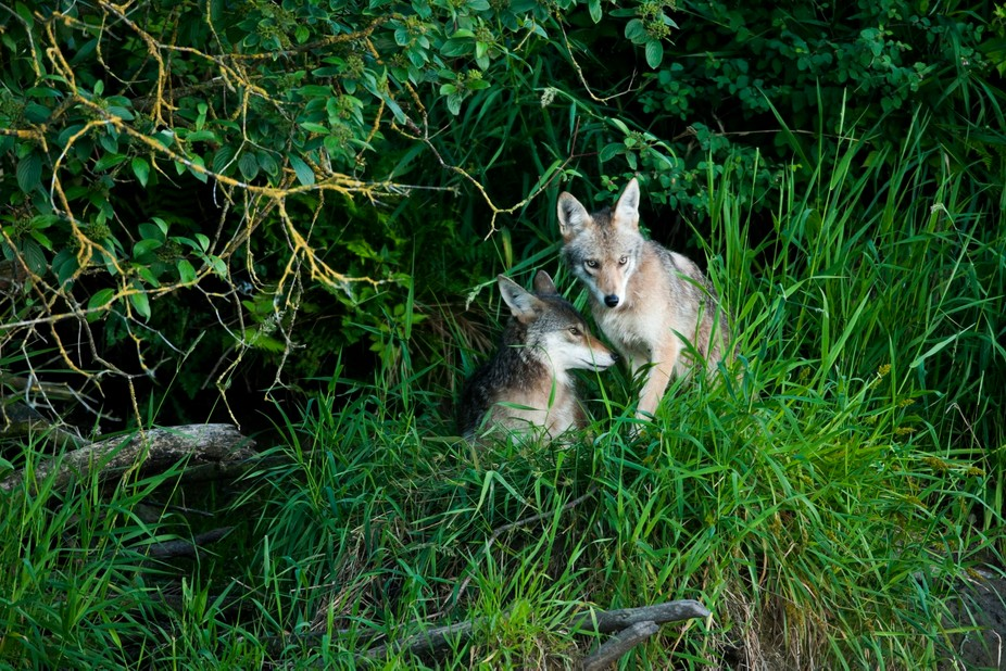 Well waiting even after the sun has gone behind the horizon seems to always pay off. These coyote...