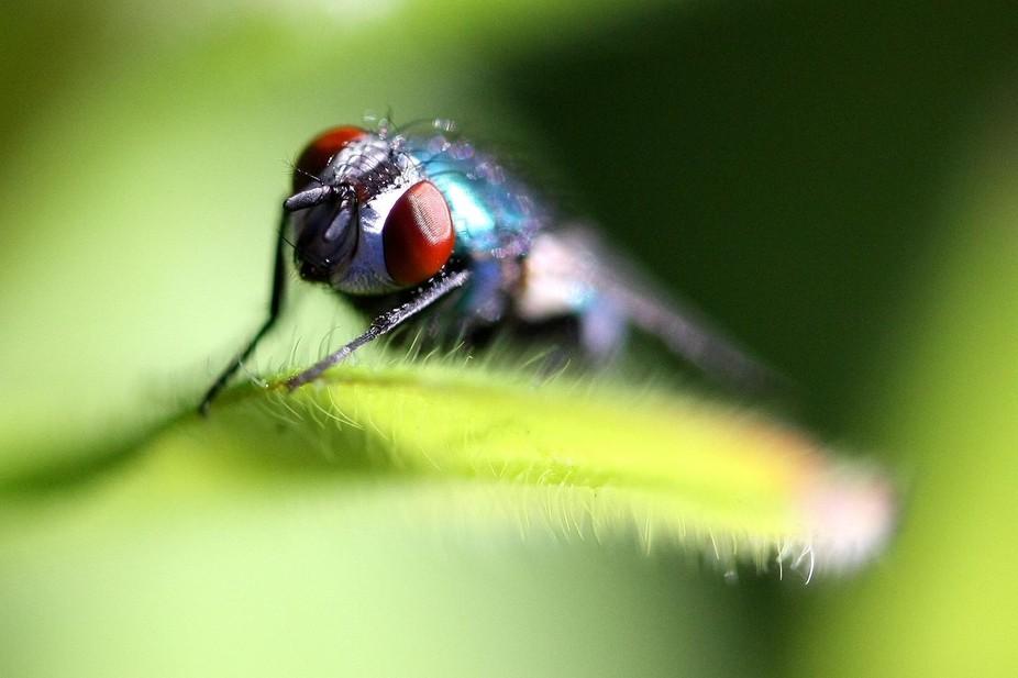 A Fly having a rest on a leaf  in the sun in my back garden.