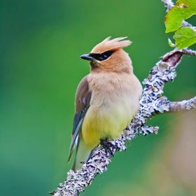 a Cedar Waxwing that visited my pond