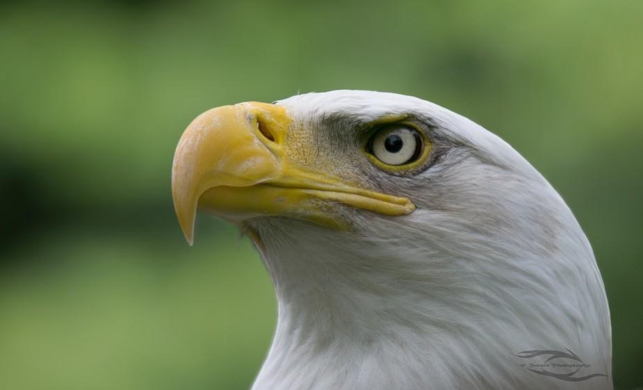 A Canadian Bald eagle.