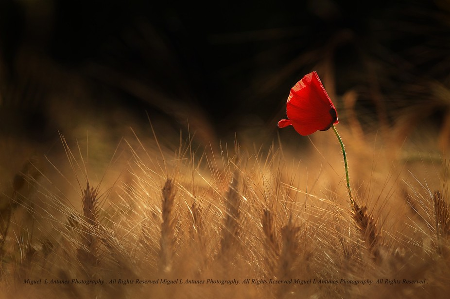 A lonesone Poppy in a wheat Field bathing in the last  of the days sun rays.