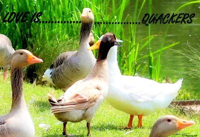 Love is.....Quackers