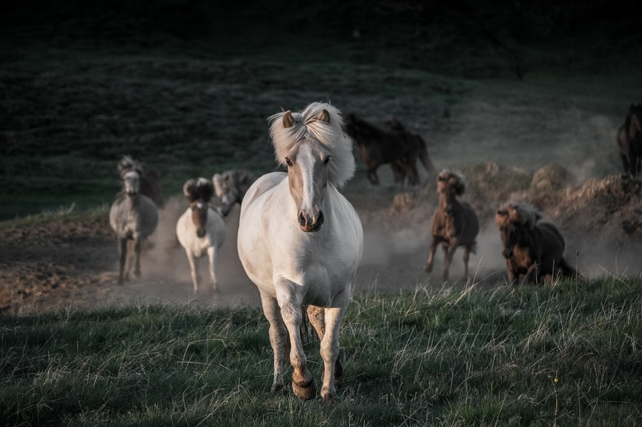 Shot in Iceland, near where I grew up. Bright summer night, horses run free, it's freedom.