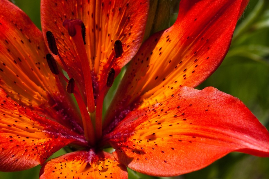 Tiger Lily - Waterton National Park