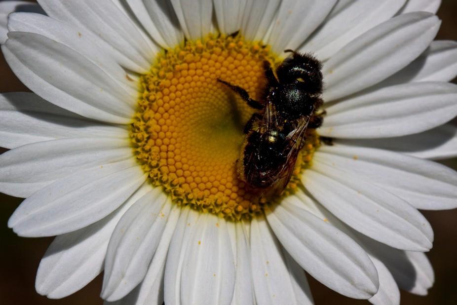 Bee on Wildflower - Waterton National Park