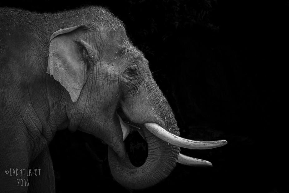 Aung Bo, Male Asian elephant