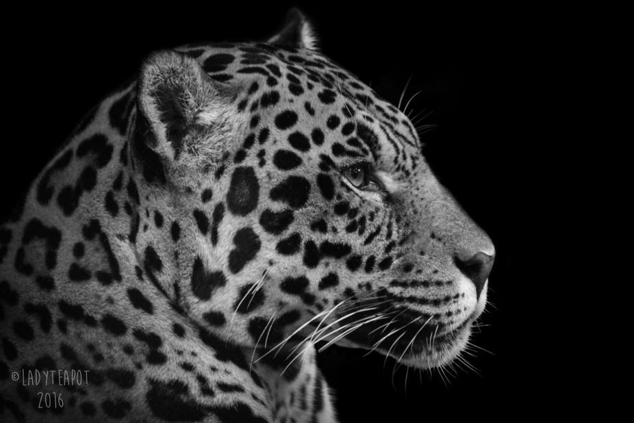 Golden Jaguar, Napo