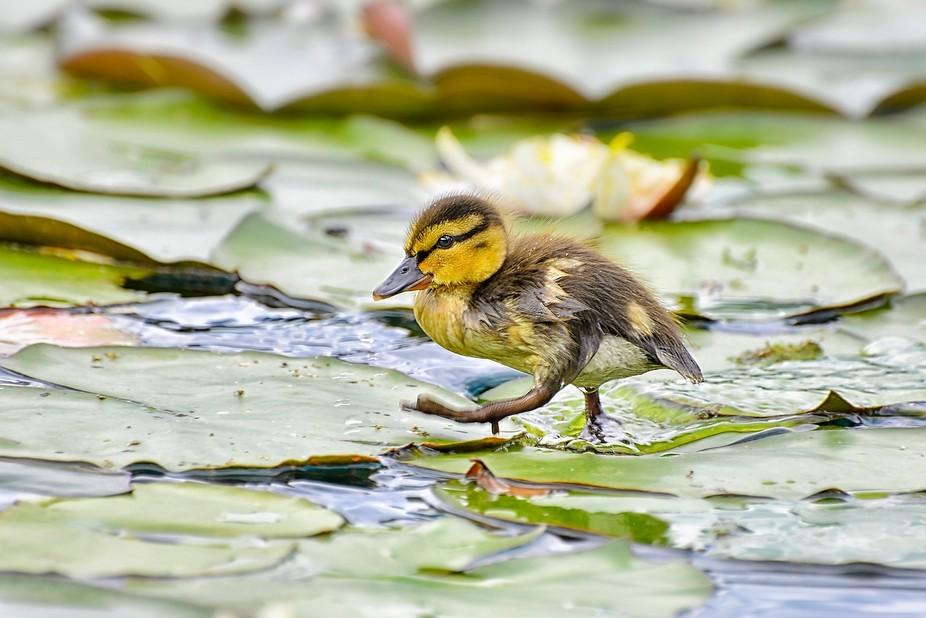 Running little duckie ...