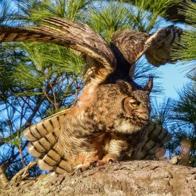 As the Great Horned Owl prepares for flight she streaches her powerful wings.