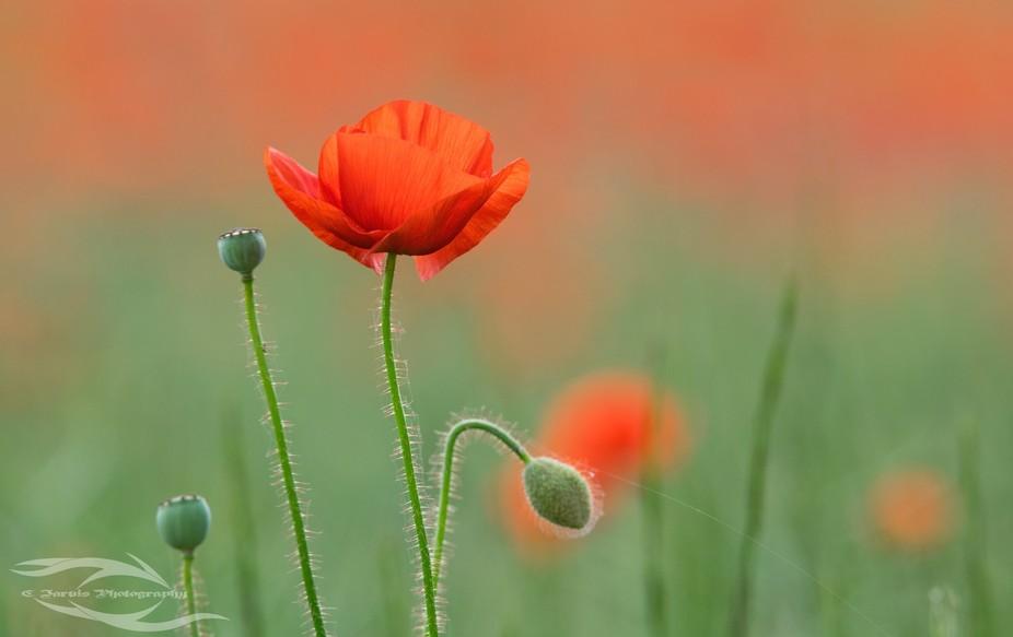 A poppy backlit.