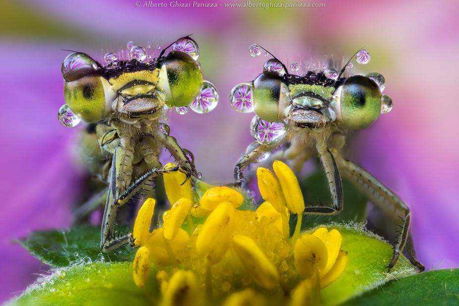 Two damselflies on a wild flower