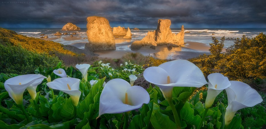 Never knew calla lilies grew in Oregon—especially on the beach like this. Spotted from a distan...