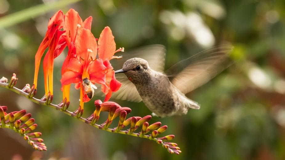 Hummingbird-3513