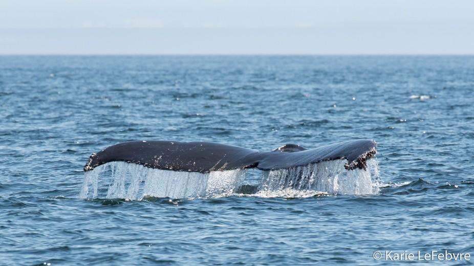 Humpback Whale along the San Juans, Washington