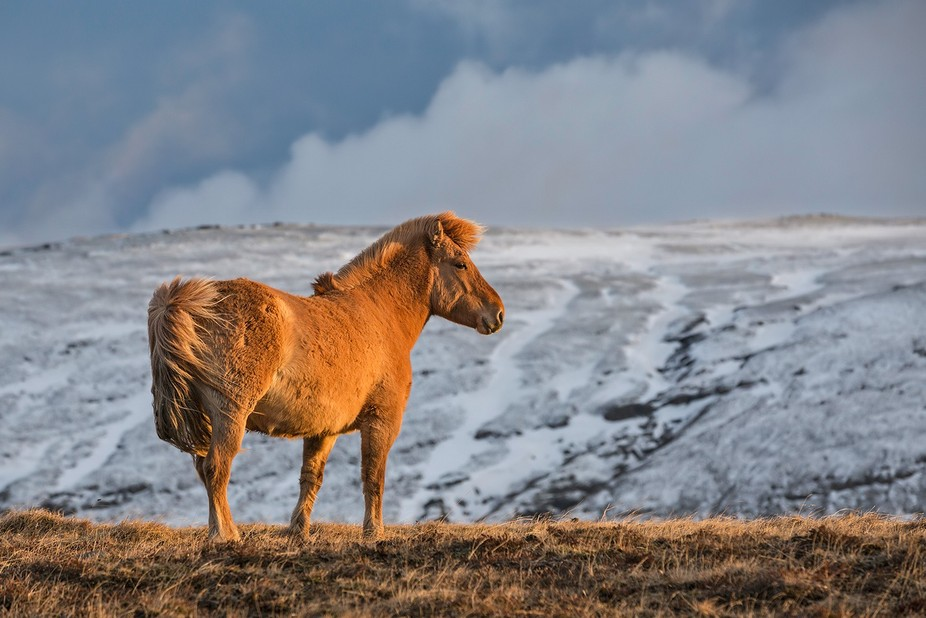 """An Icelandic horse. The image is taken in April by the first """"smell"""" of Spring ..."""