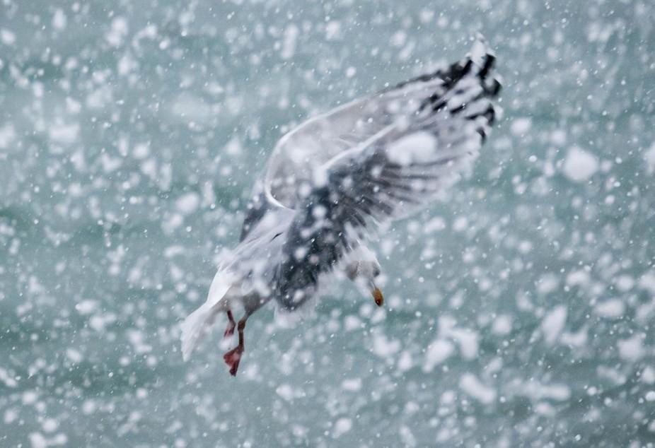 Herring Gull in Sea Spray
