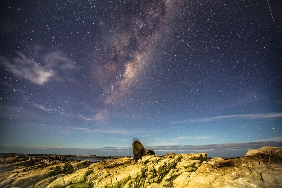 A New Zealand Fur Seal laying on a rock platform in Kaikoura under and amazing Milky Way and mete...
