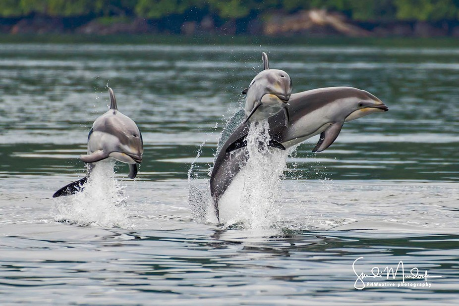 Playtime - Pacific Whitesided Dolphins