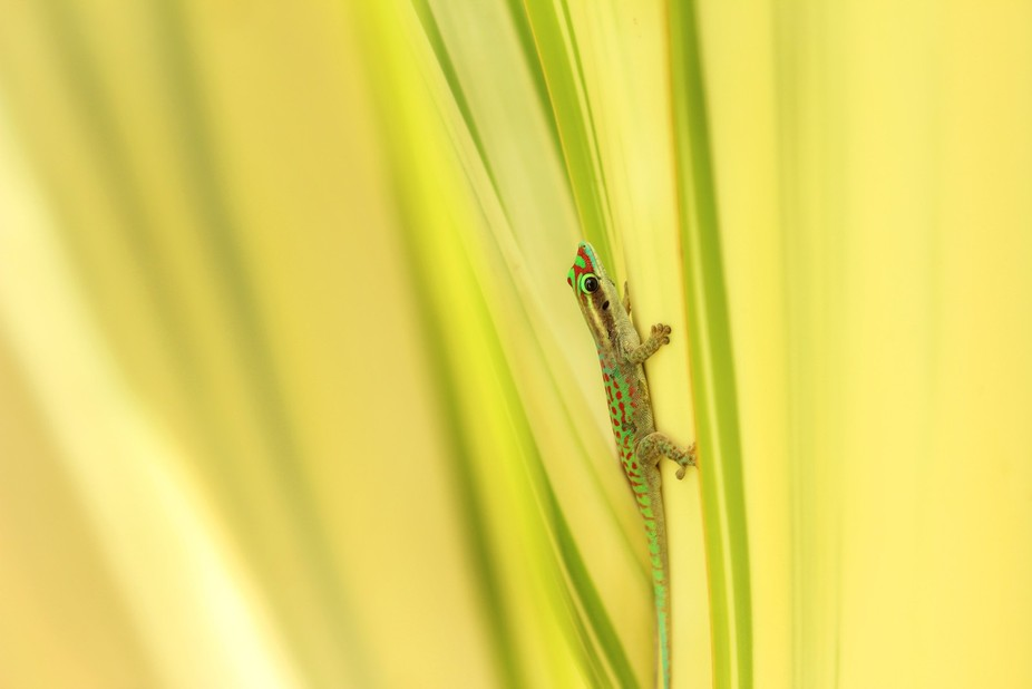 A stunning colourful gecko glowing in the heart of a tropical plant