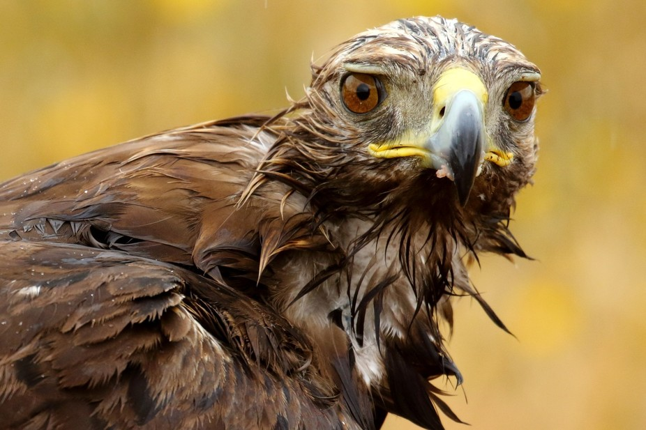 Aguila Real_01A3785