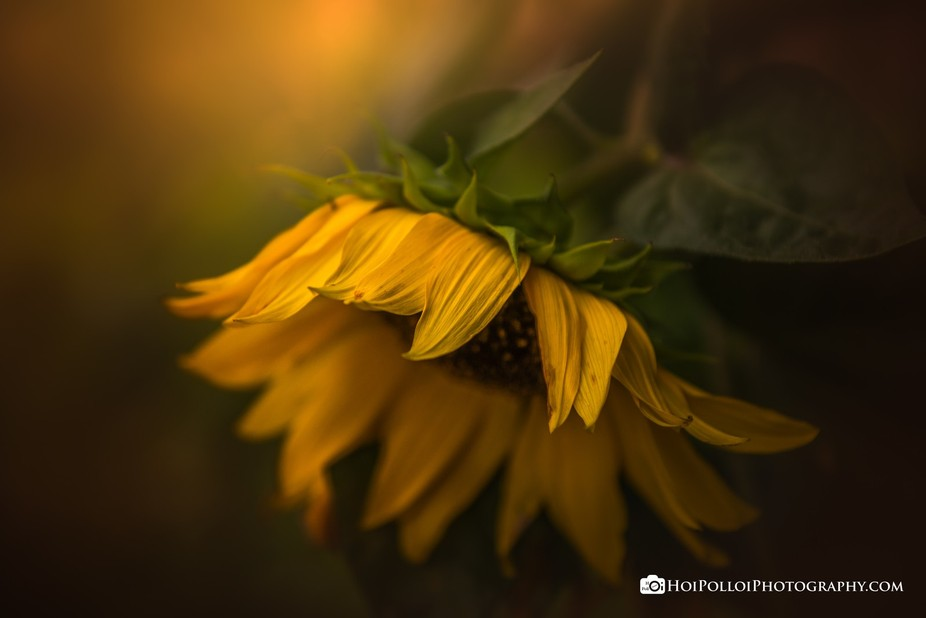 The waning days of a sunflower, as beauty fades and withers to make way for autumn. Check out my ...
