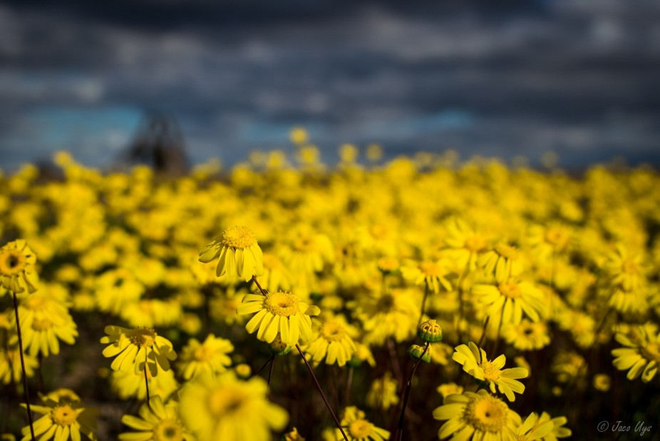Tankwa flowers