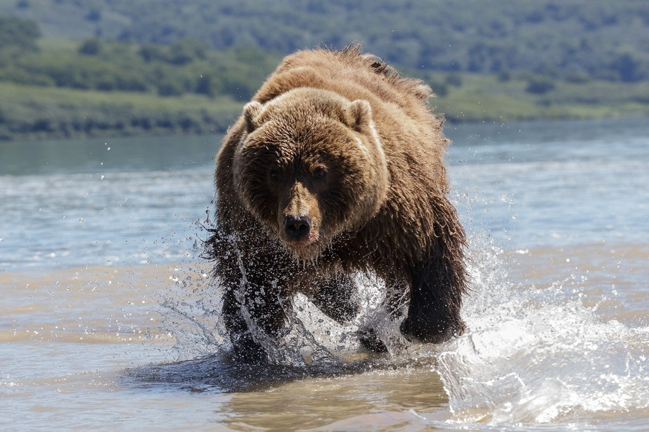 A brown bear in pursuit of a salmon fish at Kurile Lake, Kanchatka Peninsula, Russia