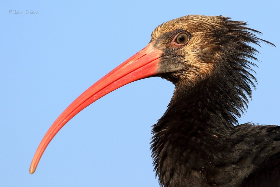 portrait balb ibis