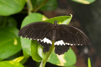 Carleton University Butterfly Exhibit 2016-4543