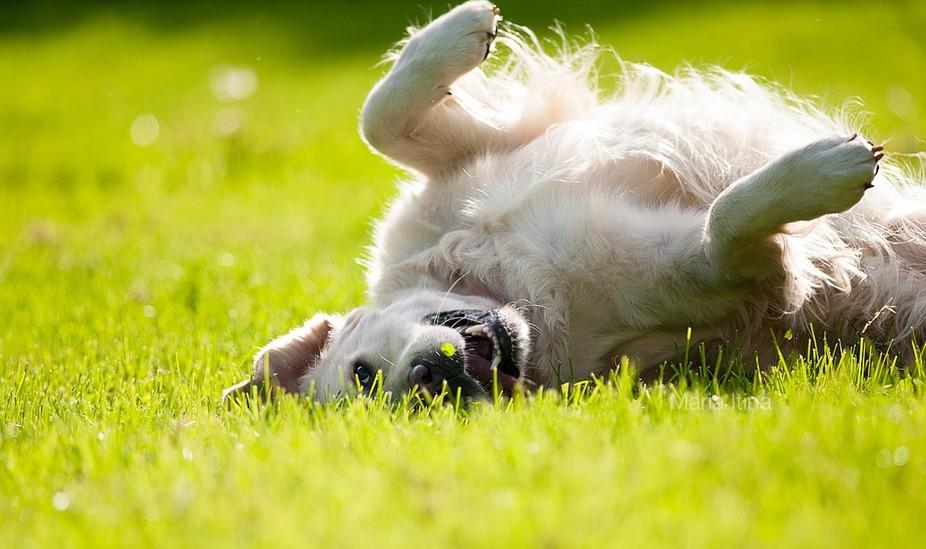 Golden retriever Life enjoys summer day