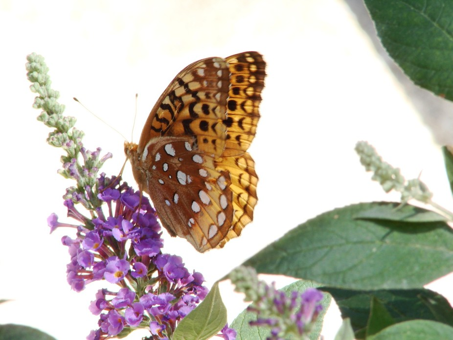 "I believe it's called ""Fritillaria"" butterfly on my butterfly bush."