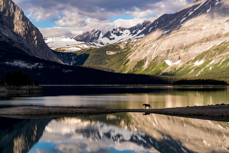 While capturing images of Upper Lake Kananasksis, a moose emerged from a wooded area at the edge ...