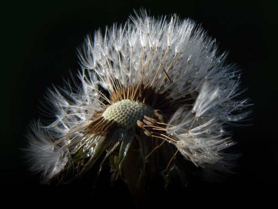 The wind revealed the beetle in the dandelion