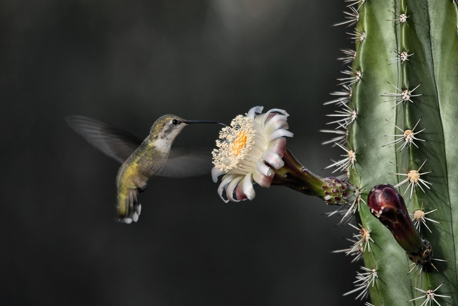 Blossomed but for just a few hours this Hummer samples the riches of The Organ Pipe nectar.