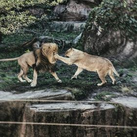 After climbing down below in the ravine, the male lion jumps back up top to receive a scolding by the real leader of the family.  At the Lincoln ...