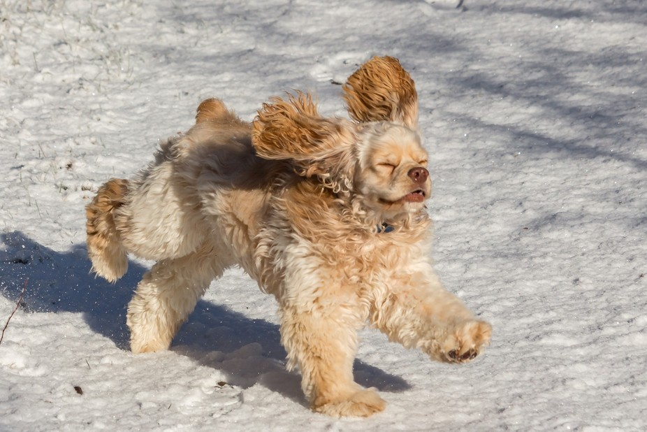 At 8 months old, Sonny really enjoys having a run in this strange white stuff