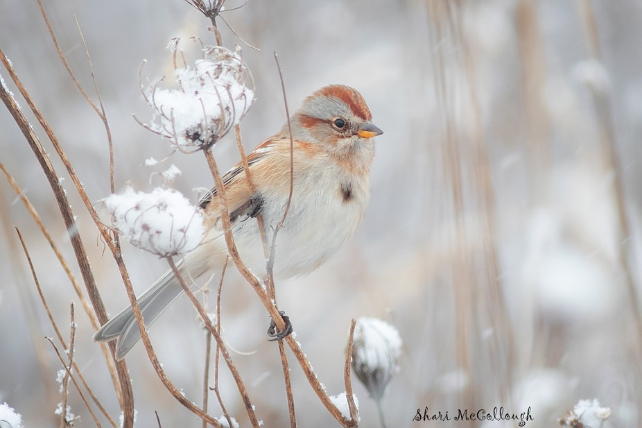 Snow Bird~ American Tree Sparrow