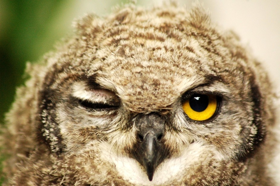 Henks Owl Family 2 Wink small