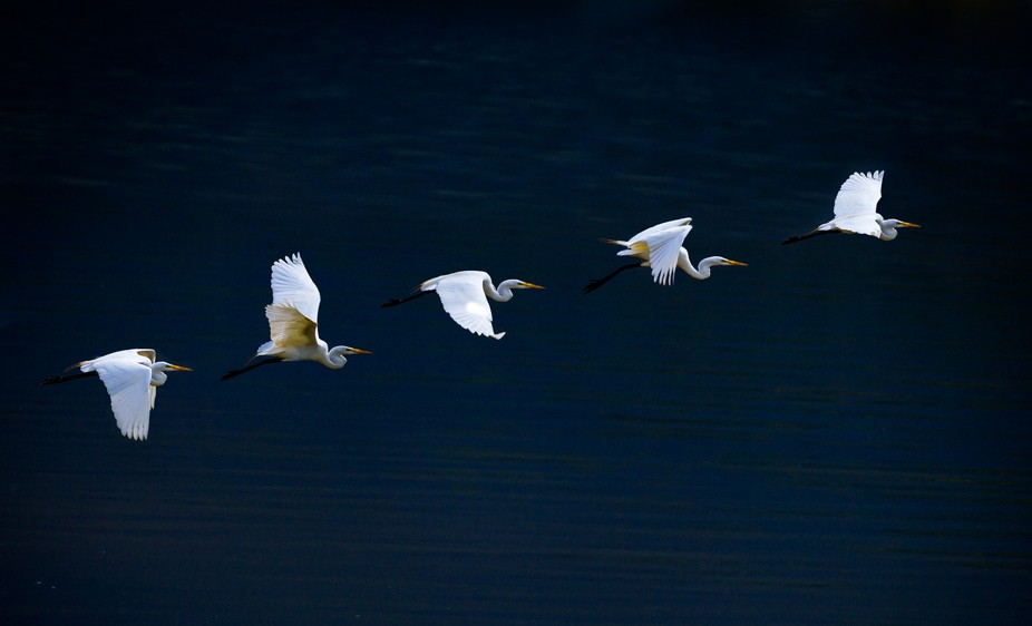 Multiple exposure of blue heron in flight.