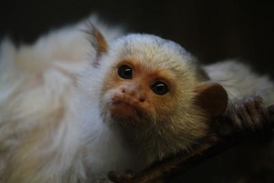 Silvery Marmoset monkey-Twycross zoo-311216-RS-canon (6)