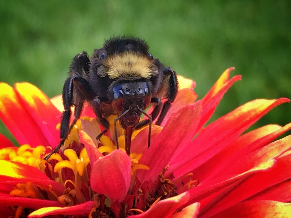 Summer bees were everywhere this day. However getting this capture was difficult since they are n...