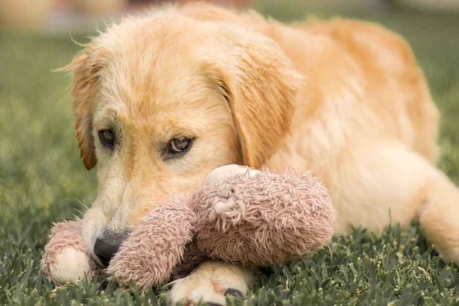 This cheeky fellow is a six month old golden retriever, almost fully grown now but still very muc...