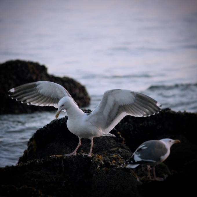 """Seagulls of Santa Monica"" by TabbyD"