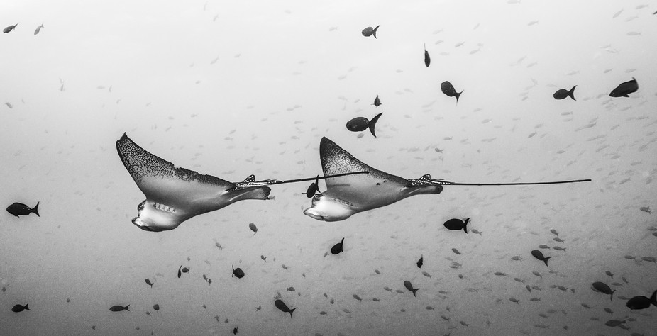 A couple of eagle rays in Darwin (Galapagos Islands)