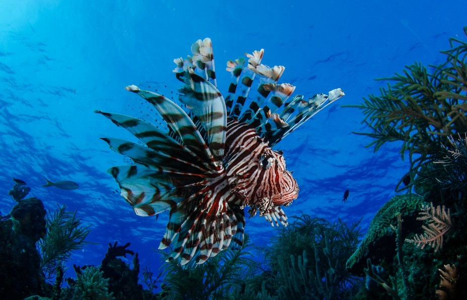 Liofish in the Brothers Islands, Red Sea (Egypt)