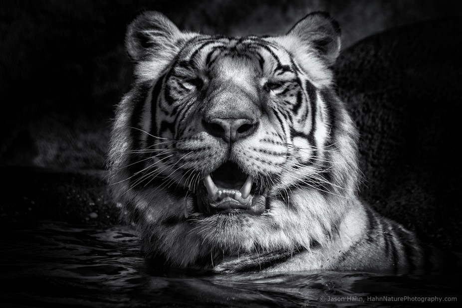 Porttrait of a white tiger, in black and white.  This is number two in a series of black and whit...