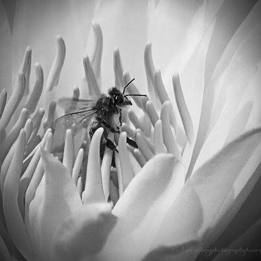 Bee enjoying a waterlily massage