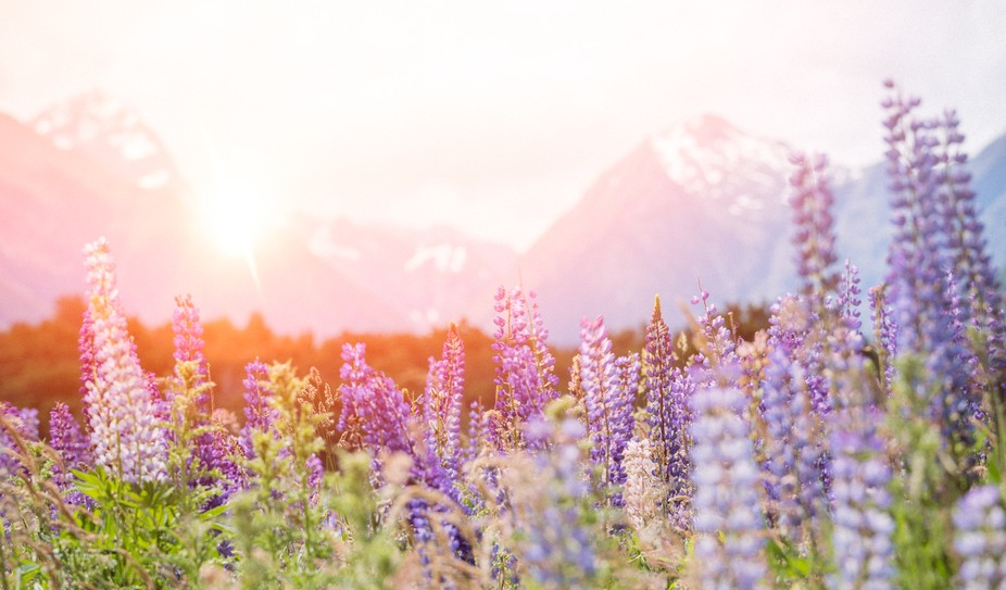 Lupins - South Island, New Zealand